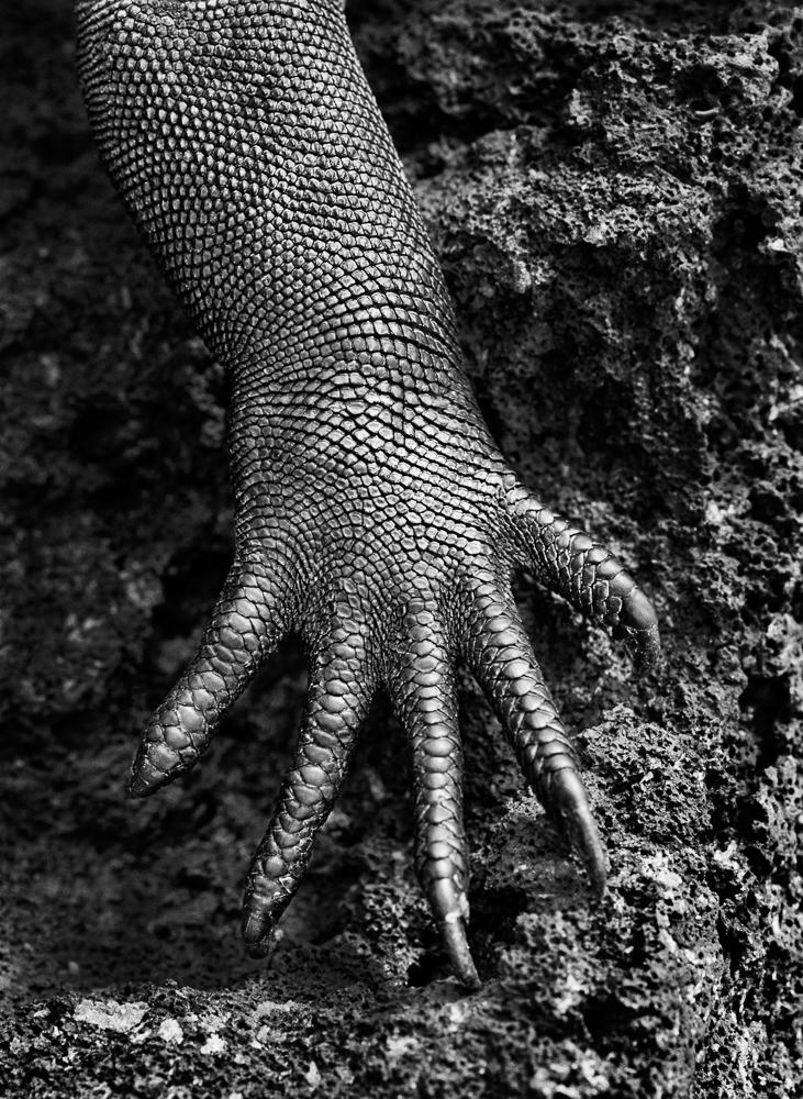 4. Salgado_Marine iguana